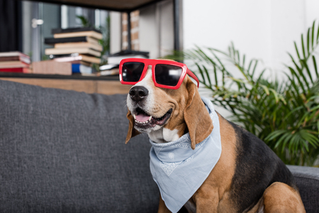 beagle dog in red sunglasses and bandana sitting on sofa