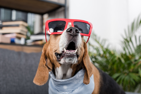 beagle dog in red sunglasses and bandana sitting at home