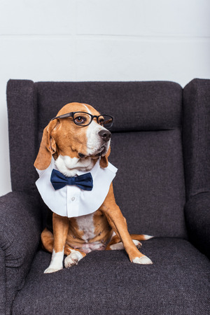dog in eyeglasses and bow tie sitting on grey armchair