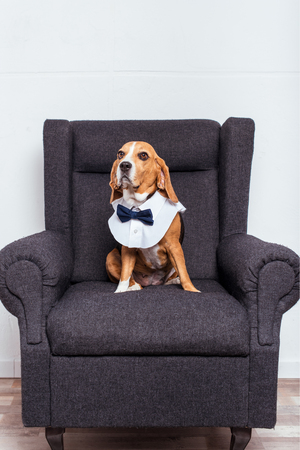 beagle dog in eyeglasses and bow tie sitting Stock Photo