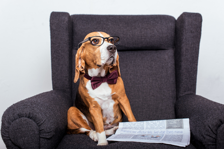 beagle dog in eyeglasses sitting with newspaper