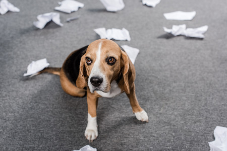beagle dog with torn paper sitting on floor at home