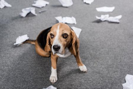 Cane beagle con carta strappata seduto sul pavimento a casa Archivio Fotografico - 84229629