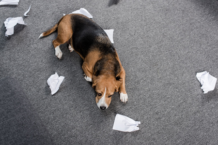 guilty beagle dog with torn paper lying on floor at home Фото со стока