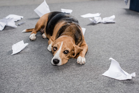 beagle dog with torn paper lying on floor at home