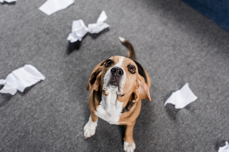 beagle dog with torn paper sitting on floor and looking up