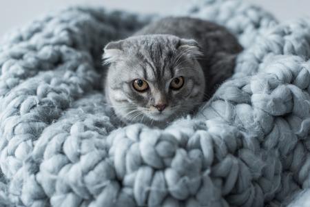 pluizig Schotse vouwen kat liggend op wollen deken in de slaapkamer