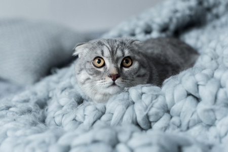 fluffy scottish fold cat lying on wool blanket in bedroom