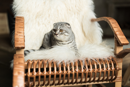 scottish fold cat lying on rocking chair with woolly blanket