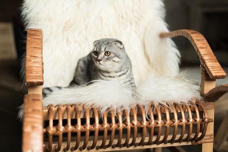 Scottish Fold Katze liegend auf Schaukelstuhl mit Wolldecke Standard-Bild - 84269352