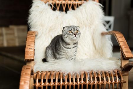 Scottish Fold Katze sitzt auf Schaukelstuhl mit Wolldecke Standard-Bild - 84269357