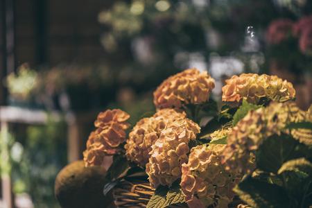 beautiful blooming hydrangea flowers in wicker basket at flower shop