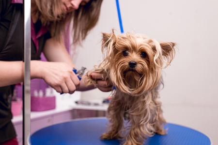 young professional groomer grooming yorkshire terrier in pet salon