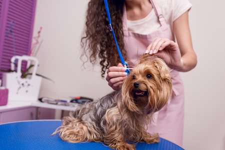 professional groomer in apron cleaning ears of cute small furry dog