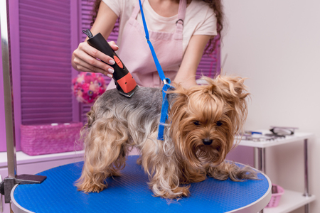 professional young groomer trimming yorkshire terrier dog with trimmer
