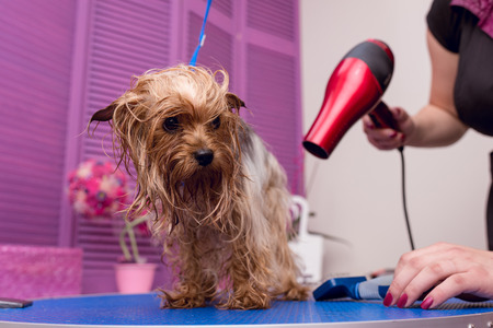 groomer with hair dryer drying cute furry yorkshire terrier dog