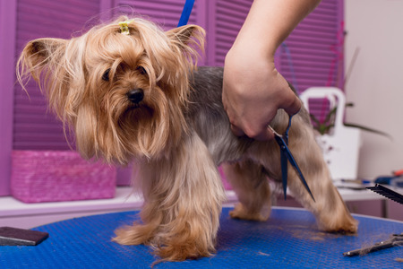 professional groomer with scissors cutting fur of cute yorkshire terrier dog Stock Photo