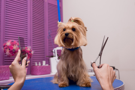groomer holding scissors and comb while grooming dog in pet salon Stock Photo