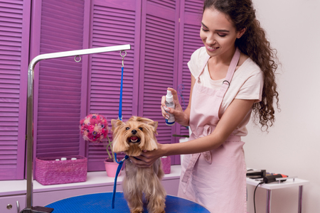 professional groomer holding lotion and moisturising cute small dog in pet salon Stock Photo