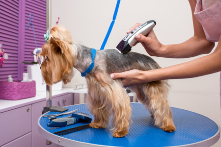 professional groomer trimming yorkshire terrier in pet salon Reklamní fotografie