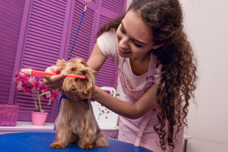 professional groomer holding toothbrush and brushing teeth of small dog in pet salon