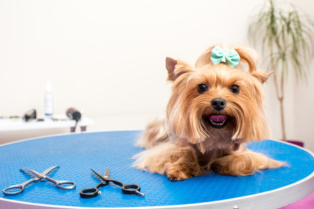 furry yorkshire terrier dog lying on table in pet salon Archivio Fotografico