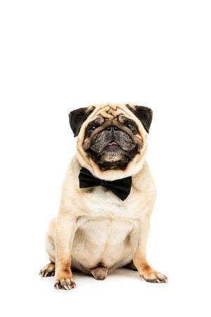 studio shot of funny pug dog in bow tie