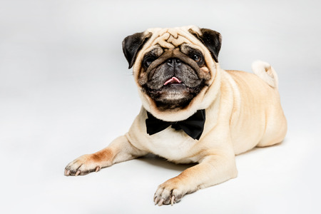 studio shot of cute pug dog in bow tie Stock Photo