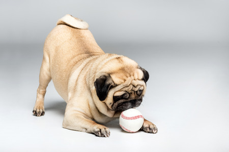 studio shot of pug dog playing with ball