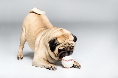 studio shot van pug hond spelen met de bal Stockfoto