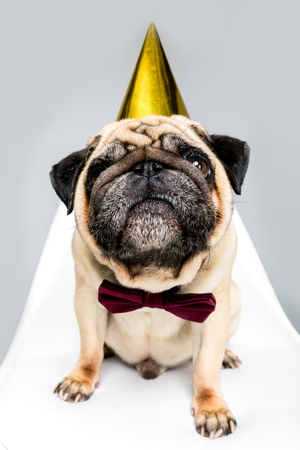 pug dog in party hat and bow tie sitting on chair Stock Photo