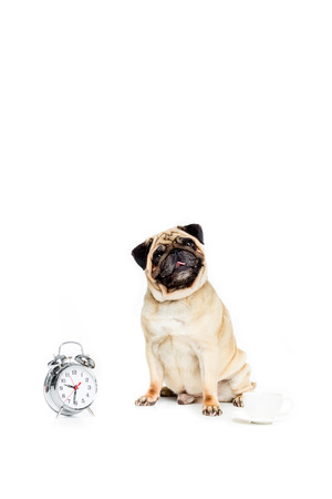 studio shot of pug dog with alarm clock