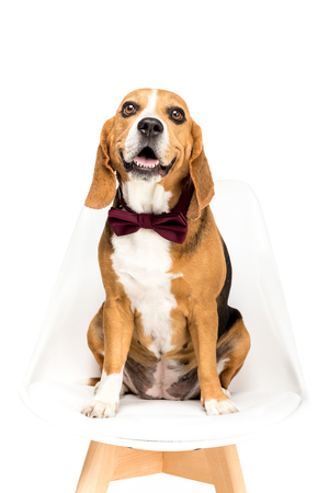 beagle dog in bow tie sitting on chair