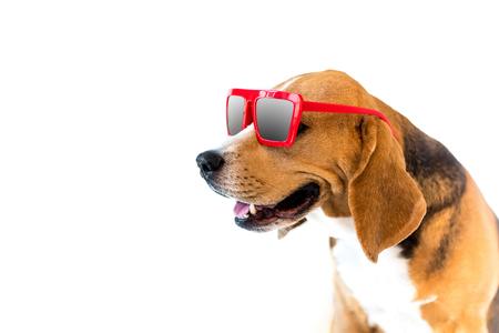 portrait of stylish beagle dog in red sunglasses