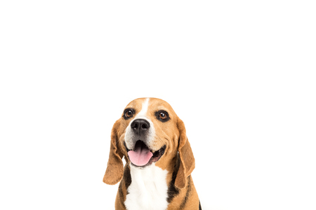 portrait of cute furry beagle dog