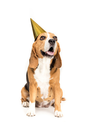 funny beagle dog in golden party hat