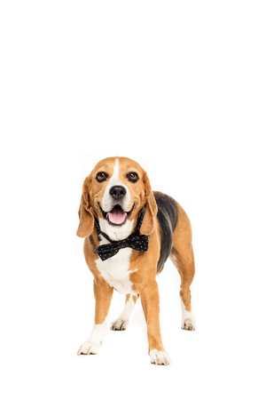 cute beagle dog standing in bow tie