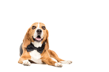 cute beagle dog lying in bow tie Stock Photo