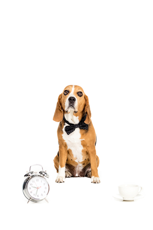 beagle dog in bow tie sitting near alarm clock and coffee cup,