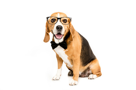 funny beagle dog sitting in eyeglasses and bow tie Stock Photo