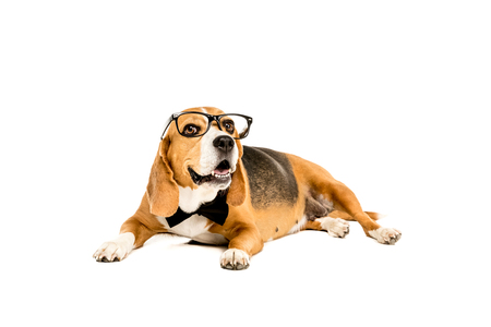 funny beagle dog lying in eyeglasses and bow tie Stock Photo