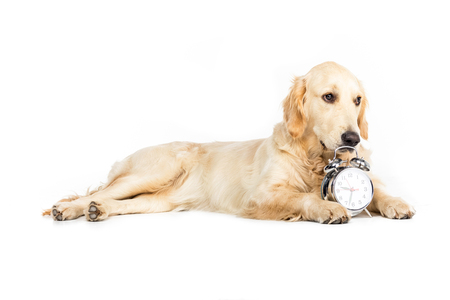 retriever dog lying near alarm clock, isolated on white Stock Photo