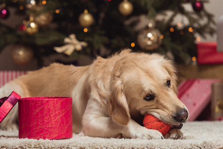 クリスマスイブにゴールデンレトリバー犬 写真素材