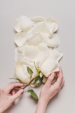 バラの花と白い花びら、グレーに分離された手のトリミング ビュー