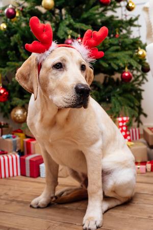 クリスマス トナカイ枝角を持つラブラドール