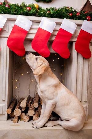 labrador at fireplace with christmas socks