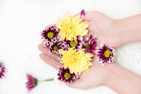 partial view of female hands holding chrysanthemum flowers