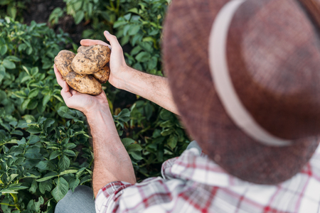 cropped shot of farmer holding ripe potatoes while working in field