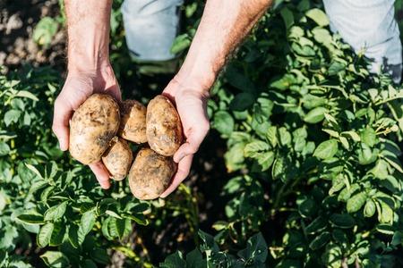 フィールドで熟した有機ジャガイモを保持している農夫の部分拡大 写真素材