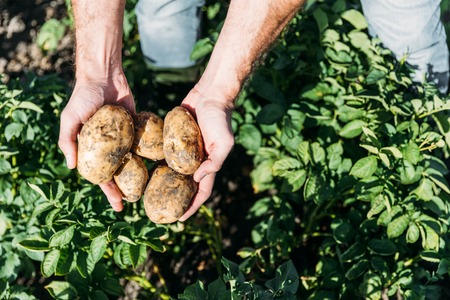 vista parziale del primo piano del coltivatore che tiene le patate organiche mature nel campo Archivio Fotografico
